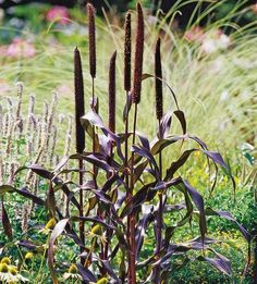 Purple Millet is an incredibly tough annual grass which offers fantastic burgundy foliage and rich purple foliage that look like fuzzy cattails. These plants are beautiful accents in the landscape and attract birds.