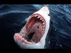 Photo by David Doubilet - whiteshark - greatwhite - shark - requin blanc White Tiger Pictures, Shark Pictures, Baby Pictures, Animal Pictures, Orcas, Shark Shark, Shark Facts For Kids, Shark Habitat, Whales