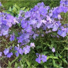 myGardenAnswers: EDGING LOBELIA (lobelia erinus) There are many lobelias, ranging in height from 6 inches to 3 feet. Yours is the classic blue annual, possibly the cultivar 'Ice Palace' that catches everyone's eye as well as bees, but there are other shades of red, blue, and white flowers.  It requires regular moisture and grows best in sun to part shade.  Brought to you by myGardenAnswers. Now available in the app store.