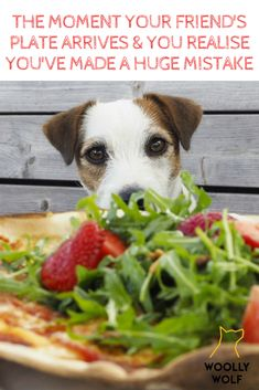 Funny Dog picture with caption. Jackrussell hungry for your food. The moment your friend's plate arrives and you realise you've made a huge mistake. Funny Dog Captions, Funny Dog Memes, Funny Dog Pictures, Funny Dogs, Rat Terriers, Terrier Dogs, All Dogs, Best Dogs, Jack Russell Puppies