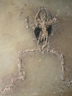 Fossil Eocene frog 48 million years old