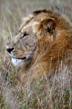 Male Lion. Masai Mara by Richard Ainsworth