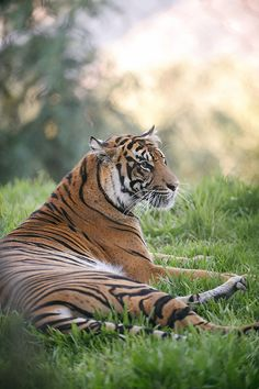"""Tiger: """"Waiting in the grass...""""                          (Photo By: Lisa Diaz.)"""