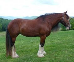 DraftsForSale.com: Clydesdale Horse For Sale - Dolly