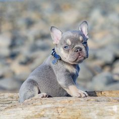 Lilac and Tan French Bulldog Puppy For Sale in Washington State - Pug Puppies Lilac French Bulldog, White French Bulldog Puppies, Mini French Bulldogs, French Bulldog For Sale, French Lilac, Frenchie Puppies For Sale, Frenchies For Sale, Pug Puppies, Pugs
