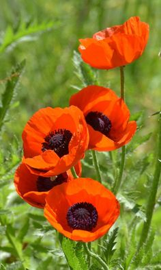 poppies - A Positively Beautiful Blog 2