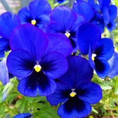 Gorgeous Blue Pansies