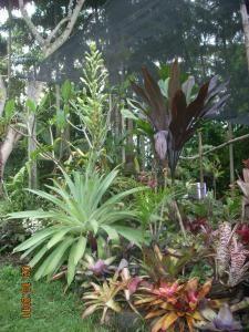 Bromeliad Alcantarea Glaziouana with flower spike
