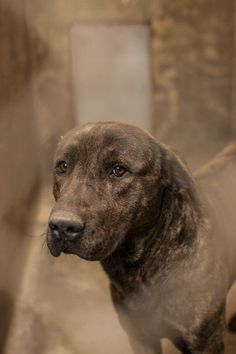 ((EXTREMELY URGENT))NEXT on DEATH ROW - please don´t hesitate, this shelter kills very fast --- Gorgeous Plott Hound Male 1-2 yrs old w/ such beautiful soulful eyes that show how scared he is… Kennel A4 Available NOW*** ONLY $51 to adopt this sweet boy. PLS HURRY….LOCATED AT ODESSA TEXAS ANIMAL CONTROL. https://www.facebook.com/photo.php?fbid=721601034530804&set=pb.248355401855372.-2207520000.1390987852.&type=3&theater