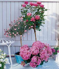 HOCHSTÄMME Viele Balkonpflanzen lassen sich zu einem Hochstämmchen erziehen, in dem man einen Hauptrieb wachsen lässt und dann kontinuierlich alle Seitentriebe unterhalb der gewünschten Kronenhöhe entfernt. In der Regel ist ein Stützstab nötig, damit die kopflastigen Pflanzen bei Wind nicht umknicken.  Hier wächst den Rosen eine Hortensie zu Füßen.