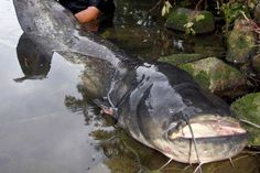 pez gato gigante pescado en el río Neckar, Alemania