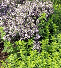 Italian Oregano Thyme goes beyond basic cooking thyme. Lost River, Left Alone, New Growth, Early Spring, Flora, Basic Cooking, Herbs, Herb Gardening, Marshalls