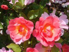 La Roseraie de Saverne - #Alsace