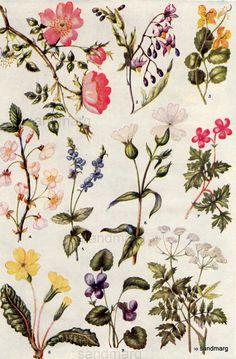 Chart of Wildflowers Hilda M Coley