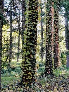 Hiedra cubriendo el tronco de los árboles. Ivy covering tree trunks Gardens of Campo del Moro Madrid