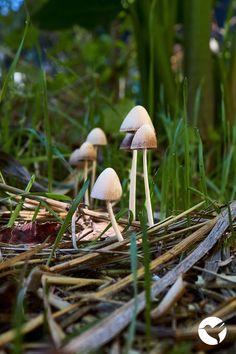 Inspiración Natural 💚 Nᴀᴛᴜʀᴀ ᴠɪᴛᴀᴇ ᴍᴀɢɪsᴛʀᴀ Fungi, Dandelion, Natural, Flowers, Plants, Mushrooms, Dandelions, Plant, Taraxacum Officinale