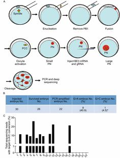 Correction of β-thalassemia mutant by base editor in human embryos | SpringerLink