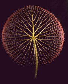 attentives: flasd: Lirio de agua gigante del Amazonas (Victoria amazonica) Botanica Magnifica: Raras + Hermosas flores en peligro de extinción fotografiados por Jonathan Singer, un podólogo de 60 años con la enfermedad de Parkinson se volvieron fotógrafo.  Una combinación poco probable la creación de un impresionante recordatorio de la fragilidad de la vida.  (A través de teaim)