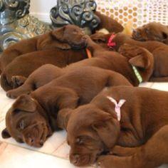 chocolate labrador puppies sleeping