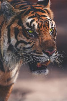 "trans-ideal: ""Sumatran Tiger 