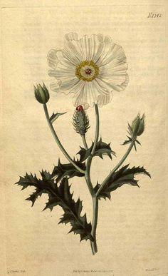9281 Argemone albiflora Hornem. / Curtis's Botanical Magazine, vol. 49: t. 2342 (1822) [J. Curtis]