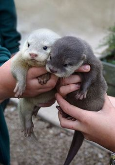 I mean there is not much that is cuter than baby otters. Did you know that otters hold hands in water as they sleep so that they don't drift apart from each other? I need a baby otter or two! Cute Baby Animals, Animals And Pets, Funny Animals, Wild Animals, Party Animals, Animal Puns, Otters Funny, Otters Cute, Small Animals