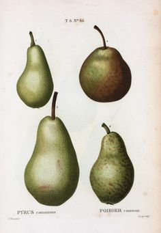 Pierre Joseph Redouté, Four Varieties of Pears---this would look lovely framed. Botanical Drawings, Botanical Illustration, Illustration Art, Botanical Flowers, Botanical Prints, Pear Varieties, Joseph, Pyrus, Fruit Painting