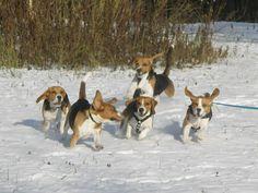 The Beagle Characteristics