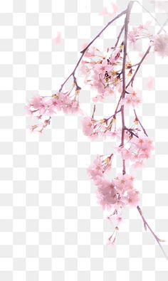 A Cherry Blossom Cherry Blossom Art, Blossom Flower, Flower Tree, Pink Blossom, Free Watercolor Flowers, Watercolor Print, Photoshop Images, Photoshop Design, Colorfull Wallpaper