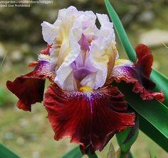 BB Iris germanica 'Boisterous' (Black, 1998)