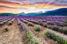 want to run through the rows :: click through for full horizontal view :: the lavender fields of eastern bulgaria [Evgeni Dinev] Must Be Heaven, Lavender Fields, Bulgaria, Amazing Nature, Mother Nature, Beautiful Places, Amazing Places, The Good Place, Natural Beauty