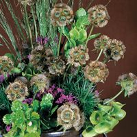 Graines de fleurs Annuelles - SCABIEUSE - Graineterie A. DUCRETTET