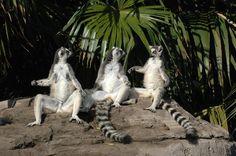 Lemures catta tomando el sol | Catta lemurs having sunbathing