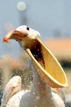 Great White Pelicans can grow up to 6 feet in length and have a wingspan of up to 12 feet. They live in southeast Europe, Asia and part of Africa. This one is hungry, I think.