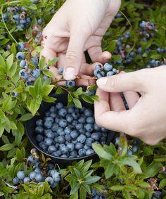 Top Hat Blueberry Bush