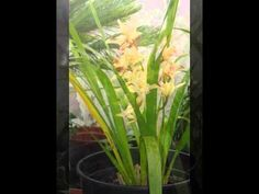 orquídeas do meu jardim as mais belas flores.
