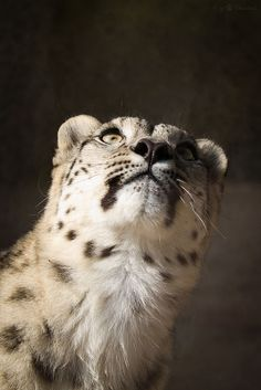 looking up. Snow leopard