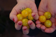 Broad Ripple Yellow Current Tomato