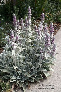 """LAMB'S EAR. Divide every 3-4 years. Shear back flowering stems close to ground level after they've finished blooming and they'll sprout heathy new stems and leaves. In spring apply thin layer compost and 2"""" mulch."""