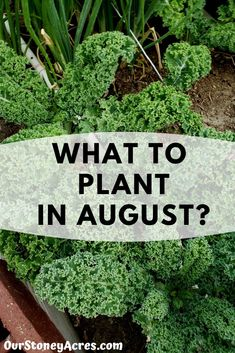 The list of crops you can plant in August for fall and winter harvest is actually quite long. #backyardgardening #gardening #vegetablegardening