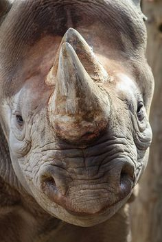 black rhinoceros or hook-lipped rhinoceros (Diceros bicornis) Animals And Pets, Baby Animals, Cute Animals, Safari Animals, Wild Animals, Amazing Animals, Animals Beautiful, Save The Rhino, African Animals