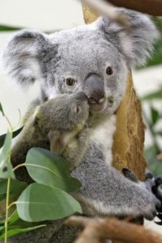 Squee Spree: Baby Koala Loves Mama - Squee daily at these cute animals and the absolute cutest animal pics and gifs ever known to man. Koala Baby, Baby Zoo Animals, Animals And Pets, Funny Animals, Cute Animals, Baby Giraffes, Baby Otters, Wild Animals, Australian Animals