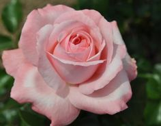 'Martina Mondadori' | Hybrid Tea rose #Hybridtearoses Bed Of Roses, Pink Roses, Beautiful Roses, Beautiful Gardens, Ronsard Rose, One Rose, Coming Up Roses, Hybrid Tea Roses, Growing Roses