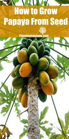 I'll show you how I grew my own papaya tree from seeds! Grows SOOO fast!
