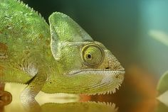 chameleon by Detlef Knapp on 500px