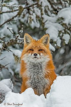 A red fox after a fresh snow fall checking things out. Steve Dunsford