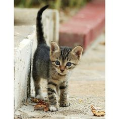 1st Steps in Big New World (Feral Stray kitten) Flickr Photo Sharing!... ❤ liked on Polyvore featuring animals