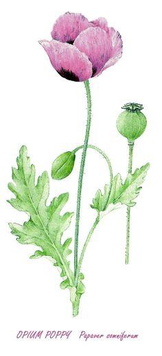 Opium Poppy Image Notes, Poppy, Dandelion, Flowers, Plants, Dandelions, Plant, Taraxacum Officinale, Royal Icing Flowers