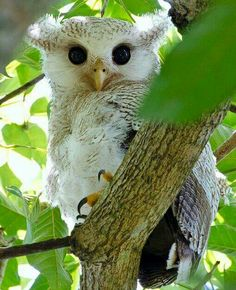 Maleise oehoe - Barred Eagle-owl (Bubo sumatranus) in Malaysia by Marie-Louise Ng.