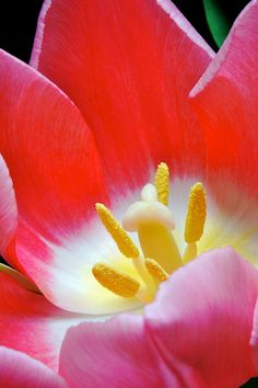 Tulip Junk